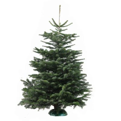 Real Nordmann Fir Christmas Tree 175    200cm