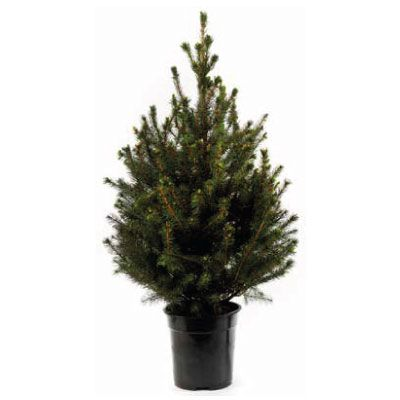 Real Potted Picea Omorika Christmas Tree 80 100cm