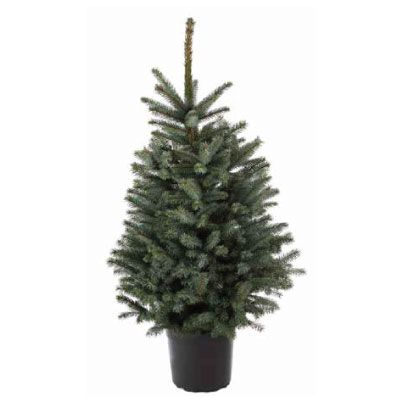 Real Potted Blue Spruce Christmas Tree 100 125cm