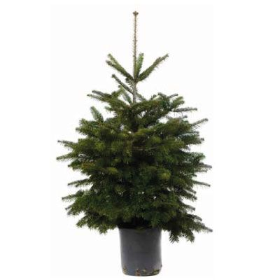 Real Potted Nordmann Fir Christmas Tree 100 125cm