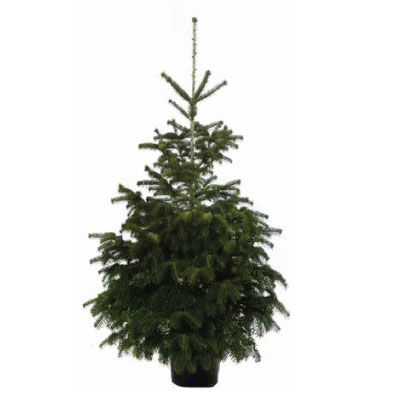 Real Potted Nordmann Fir Christmas Tree 125 150cm