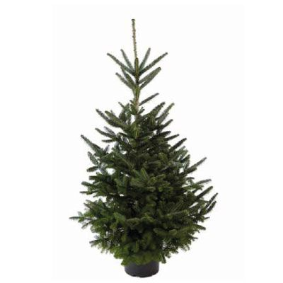 Real Potted Fraser Fir Christmas Tree 100 125cm