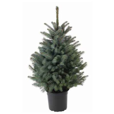 Real Potted Blue Spruce Christmas Tree 80 100cm