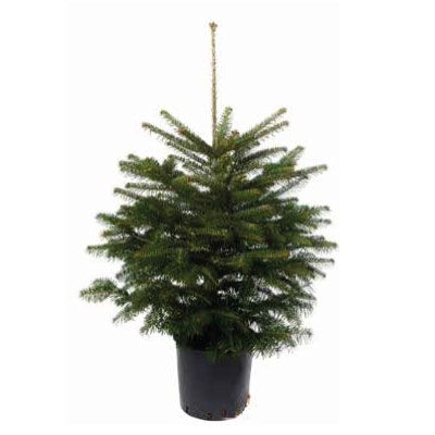 Real Potted Nordmann Fir Christmas Tree 80 100cm