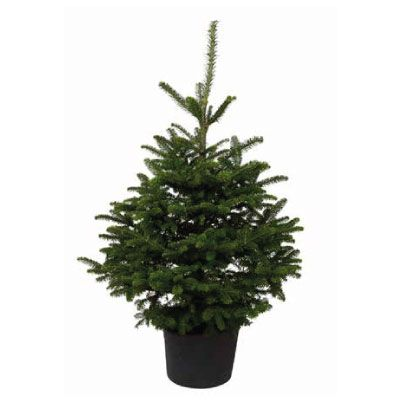 Real Potted Fraser Fir Christmas Tree 125 150cm