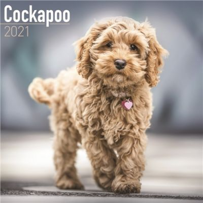 Cockapoo Wall Calendar 2021