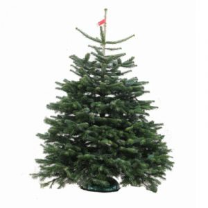 Real Emerald Nordmann Christmas Tree 150   175cm