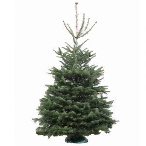 Real Nordmann Fir Christmas Tree 250    300cm