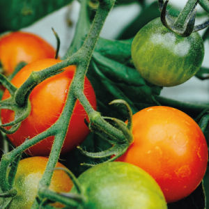 How to Plant Your Tomatoes