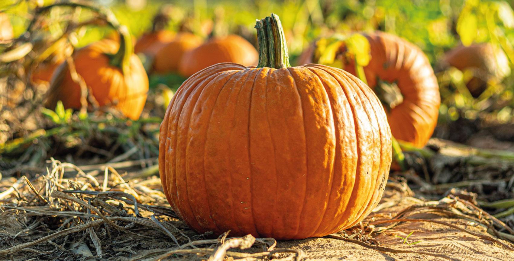 Pumpkin Tips To Try This Halloween Chessington Garden Centre